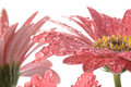 Free Closeup Of Pink Daisy With Water Droplets Stock Photos - 1860283