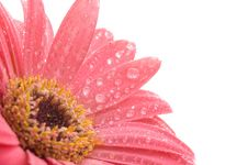 Free Closeup Of Pink Daisy With Water Droplets Stock Images - 1860324
