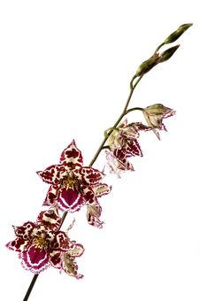 Free Orchid Stock Image - 1860401