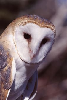 Free Barn Owl (Tyto Alba) Royalty Free Stock Images - 1860859