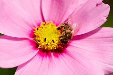 Free Bee On Flower Stock Image - 1861361