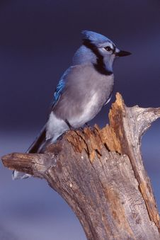 Free Blue Jay 1 (Cyanocitta Cristata) Stock Images - 1864744
