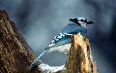 Blue Jay 3 In Snow (Cyanocitta Cristata) Stock Photo