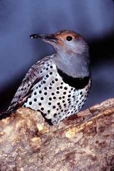 Free Northern Flicker Woodpecker Female (Colaptes Auratus) Royalty Free Stock Photo - 1864975