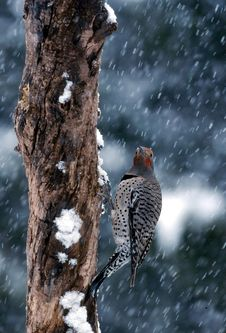 Free Northern Flicker In Snow (Colaptes Auratus) Royalty Free Stock Images - 1865009