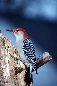 Free Red-bellied Woodpecker Male (Centurus Carolinus) Royalty Free Stock Photos - 1865258