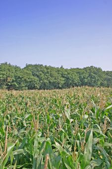 Free Cheshire Corn Field Stock Images - 1865474