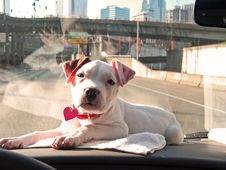 Free Dashboard Puppy Stock Image - 1865821