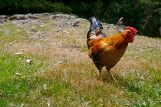 Free A Red Rooster Stock Photo - 1865840