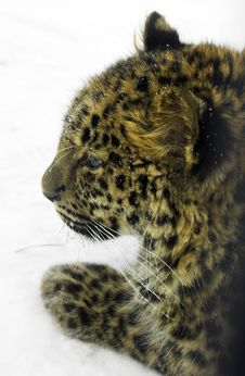 Free Leopard On The Snow Stock Images - 1867974