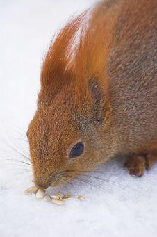Free Squirrel Stock Image - 1868201