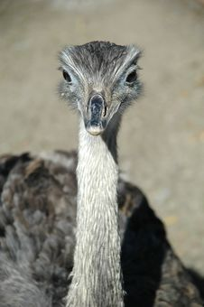 Free Emu Stock Photo - 1869000