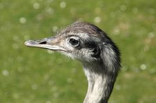 Free Emu On Green Grass Stock Photography - 1869002
