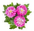 Free Bush Of Beautiful Pink Roses Royalty Free Stock Photos - 18608848