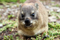 Free Dassie Rat Royalty Free Stock Photography - 18609257