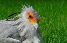 Free Secretary Bird Portrait Royalty Free Stock Images - 18600069