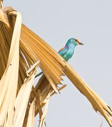 Free Abyssinian Roller On Palm Tree Royalty Free Stock Photo - 18601705