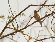Free A Cut-throat Finch Royalty Free Stock Photography - 18601797