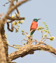 Free The Northern Carmine Bee-eater Stock Photography - 18601812