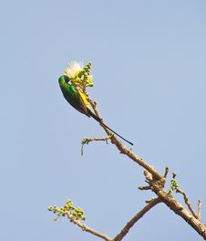 The Pygmy Sunbird Royalty Free Stock Image