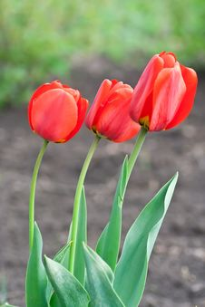 Free Red Tulips Royalty Free Stock Photo - 18602845