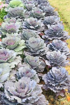 Free Purple Cabbage Garden Stock Images - 18603064