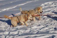 Free Two Siberian Huskies Royalty Free Stock Photo - 18604575