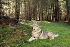 Free Wolf Royalty Free Stock Photography - 18606597