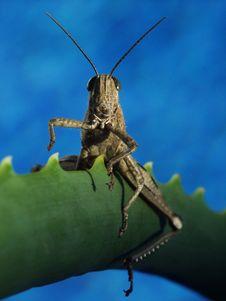 Free Grasshopper Stock Photo - 18607220