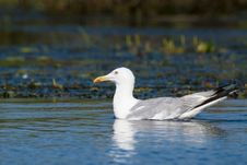 Caspian Gull Or Yellow Legged Gull Stock Image