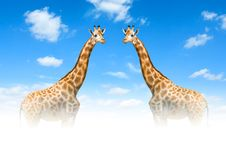 Free Two Giraffes Royalty Free Stock Images - 18612419