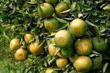 Free Orange Raw On A Tree Stock Photo - 18613190