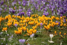 Free Spring Crocus Glade Stock Images - 18617444