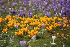 Free Spring Crocus Glade Stock Images - 18617444