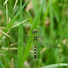Free Green Dragonfly. Royalty Free Stock Photography - 18617697