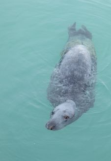 Free Grey Seal. Royalty Free Stock Image - 18617916