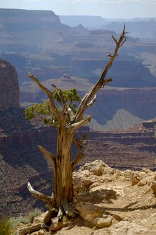 Free Dried Standing Tree At Grand Canyon Ledge Stock Image - 18618271