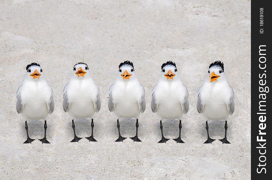 Singing Terns