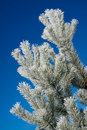 Free Frost On Pine Tree Stock Photos - 18627603