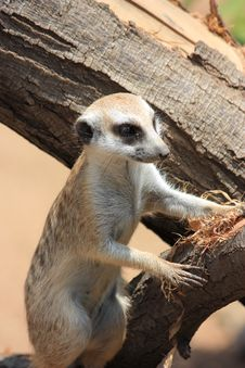 Free Meercat On Stump Royalty Free Stock Photography - 18620847
