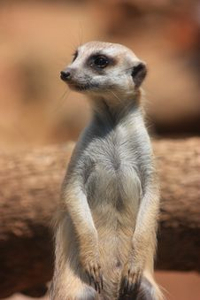 Free Resting Meercat Royalty Free Stock Photos - 18620858