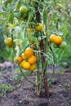Free Yellow Tomato Bush Stock Photography - 18623002