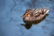 Free Wild Duck Swimming In Blue Water Royalty Free Stock Photography - 18623257
