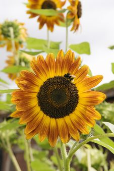 Free Sunflower With Bee Stock Photography - 18624932
