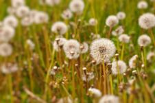 Free Dandelion Field Royalty Free Stock Photos - 18626508