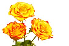 Free Yellow Roses Isolated Royalty Free Stock Photography - 18627427
