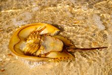 Free Horseshoe Crab In The Sand Stock Photo - 18628520