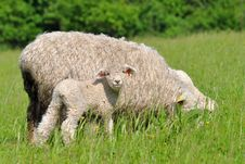 Free Mum Sheep And Her Baby Lamb Royalty Free Stock Image - 18628756