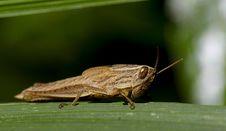 Free Baby Grasshopper Royalty Free Stock Image - 18628926