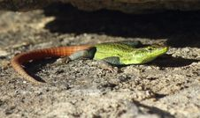 Free Colourful Flat Lizard Royalty Free Stock Photos - 18628998